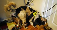 Sniffer dog searches for drugs