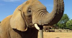 Opal the elephant