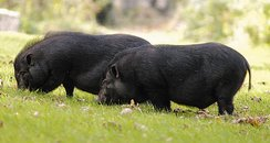 Vietnemese Pot-bellied Pigs