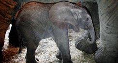 Elephant born at Howletts