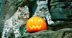 Snow leopard cubs on Halloween!
