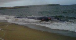 Fin whale washed-up on Cornwall beach