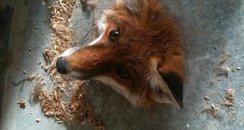 Stuck Fox