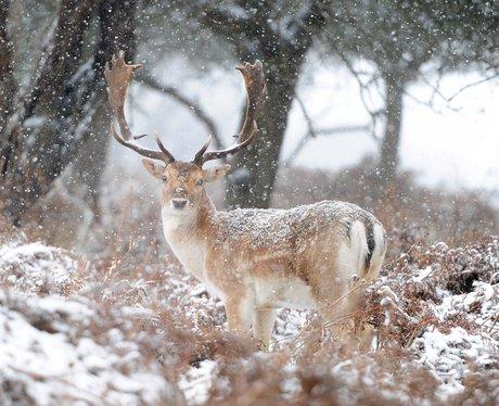 Deer in Snow Scenes a Deer in The Snow