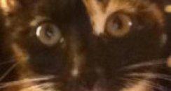 Shot Hemel cat Maggie