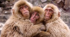 Snow Monkeys cutest pictures of the week