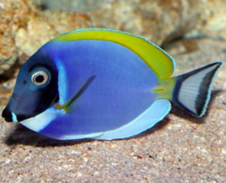 Dory fish related keywords dory fish long tail keywords for Picture of dory fish