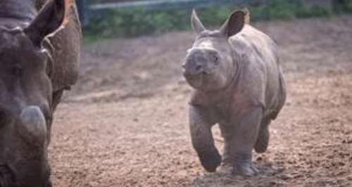 New Rhino at Chester Zoo