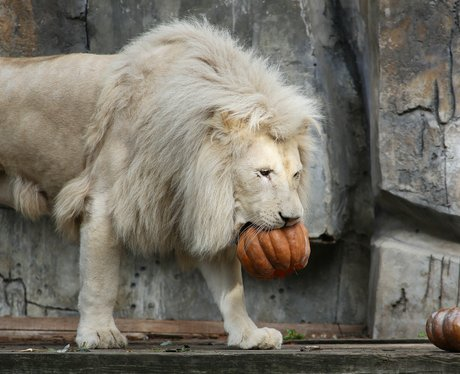 a lion eating a pumpkin