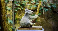 koala sitting scales