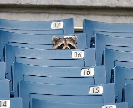 raccoon at yankey stadium