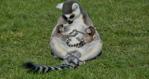 New born lemurs
