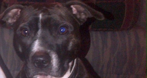 Daisy, the Staffordshire Bull Terrier