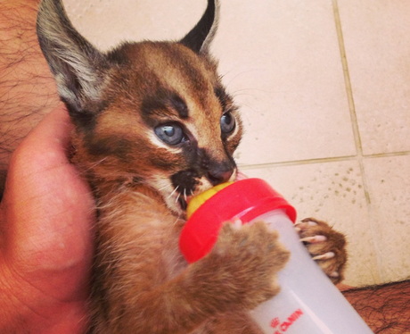 A wild cat drinking from a bottle