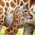 giraffe kent