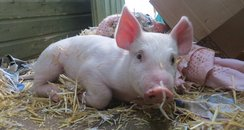 Piglet saved from A90
